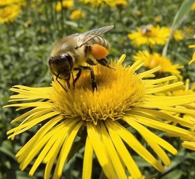 Parrainage abeilles ruches lille